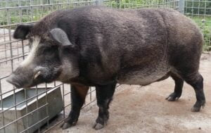 Read more about the article Pig-Wild Boar Hybrids Born At Fukushima Nuclear Accident Site